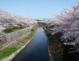 山崎川:名古屋の桜の名所