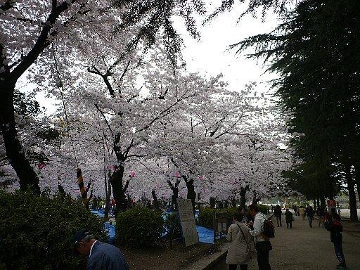 鶴舞公園・桜2016年4月1日撮影。