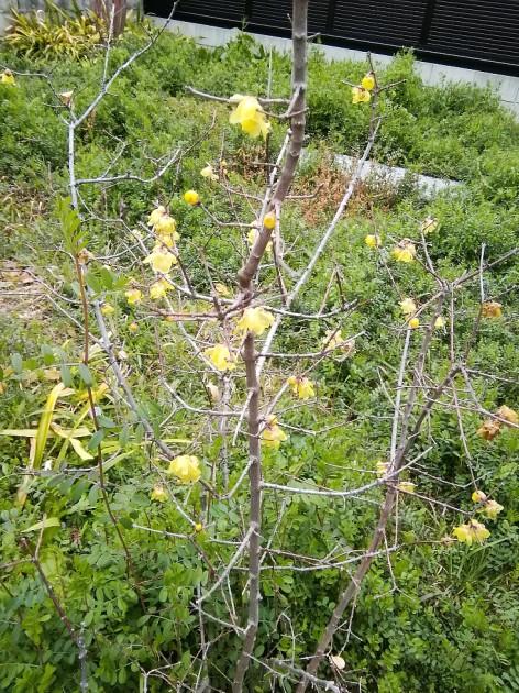 中庭に咲く蝋梅-02