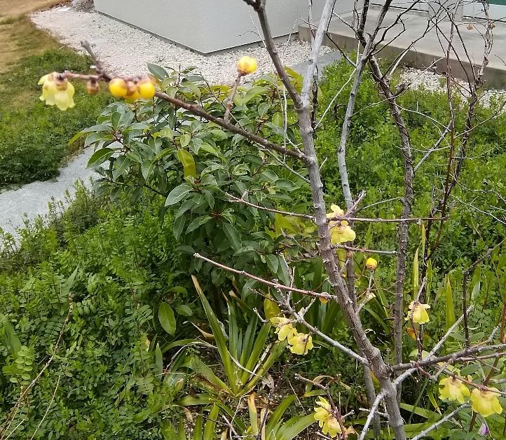 春を告げる蝋梅。今年も咲く。