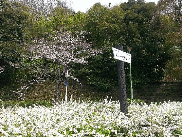 ユキヤナギと桜、東山一万歩コース